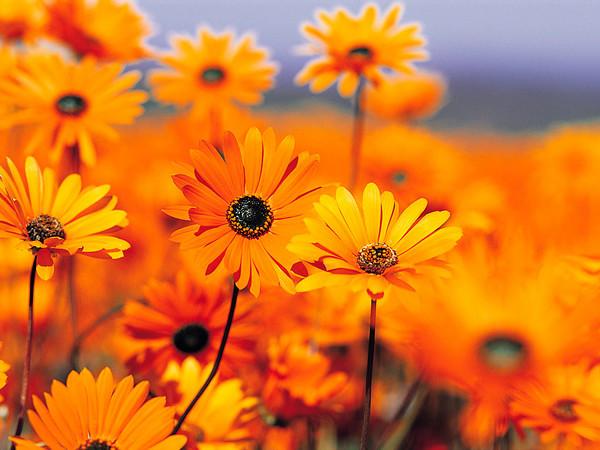 oranzhid-lilled.jpg